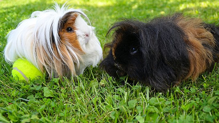 Guinea pig stress signs