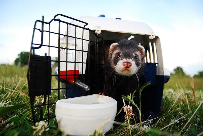 Ferret with ferret supplies