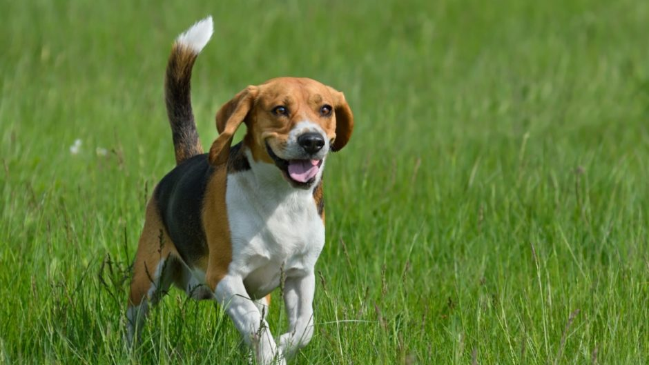 active dog breeds