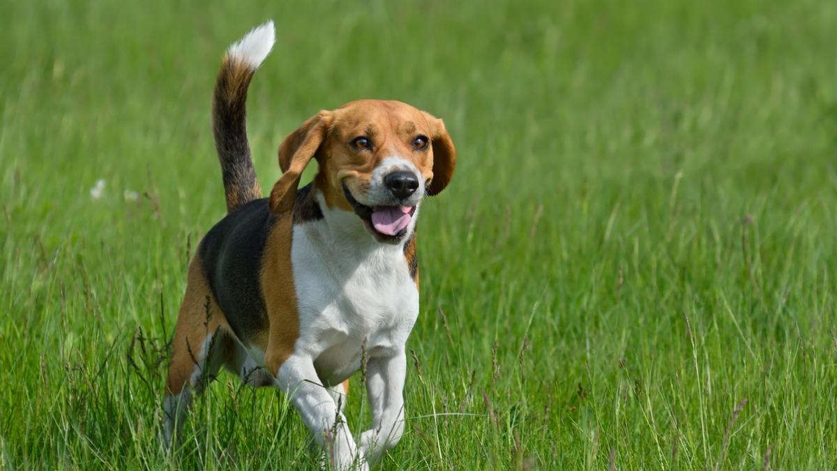 active dog breeds