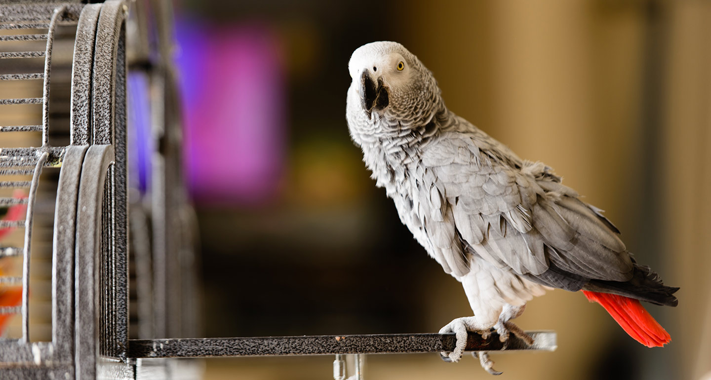 Best pet birds: African grey