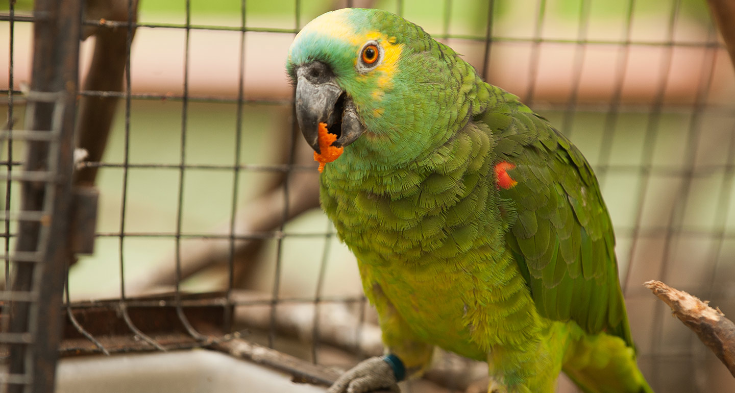 Best pet birds: Amazon