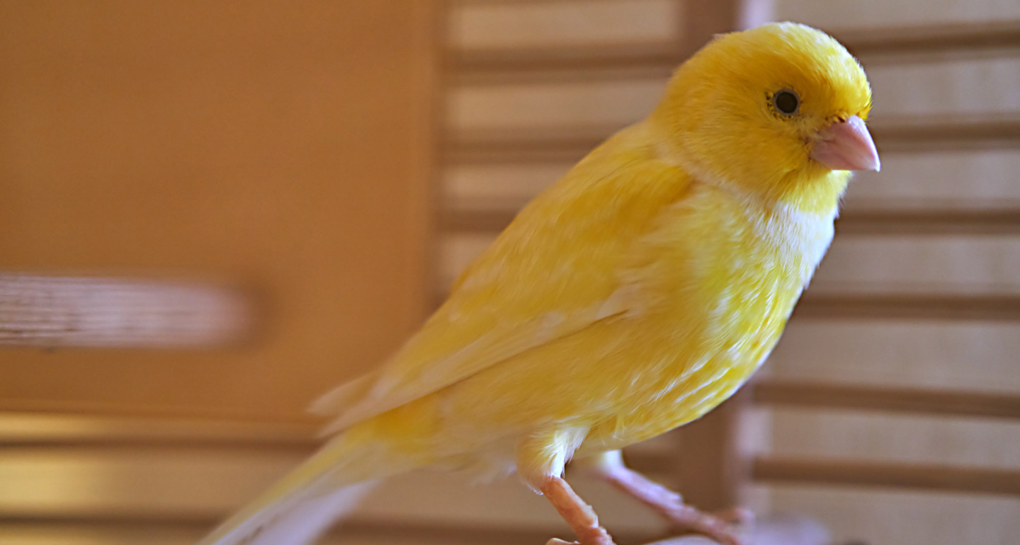 Best pet birds: canary