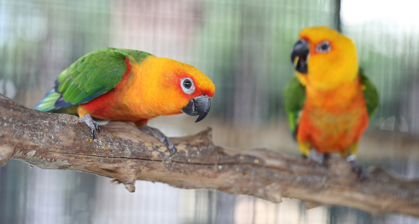 Best pet birds: conures