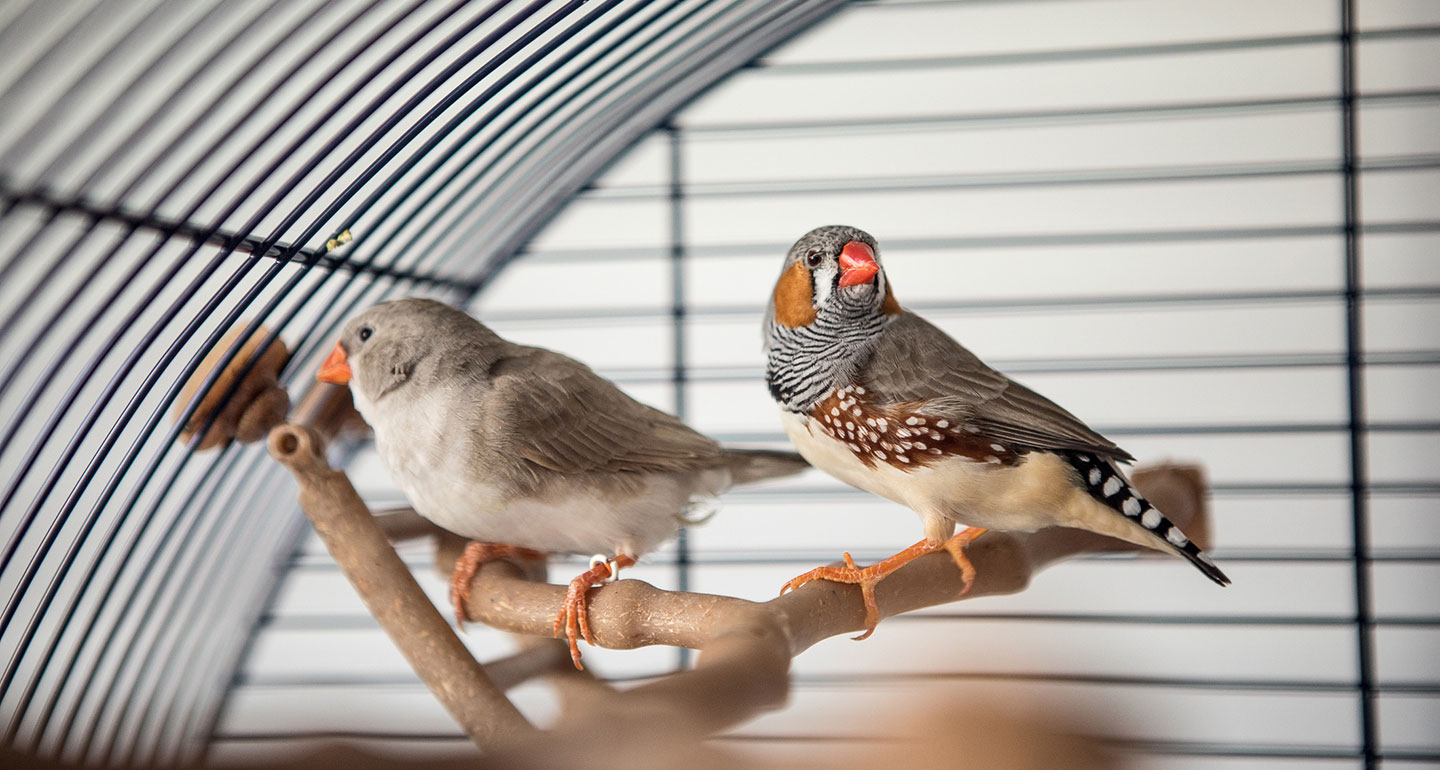 Best pet birds: finches