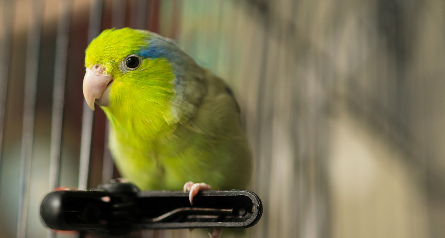 Best pet birds: parrotlets