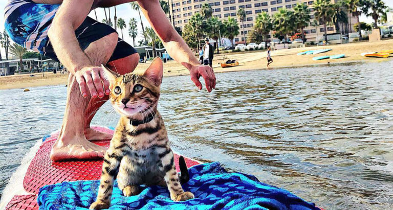 Surfing Cat Catches Waves and Online Attention