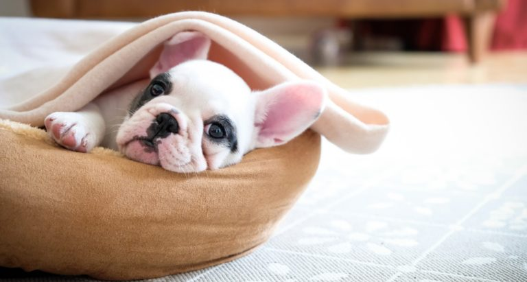 Things You Need to Know Before Bringing Home a French Bulldog