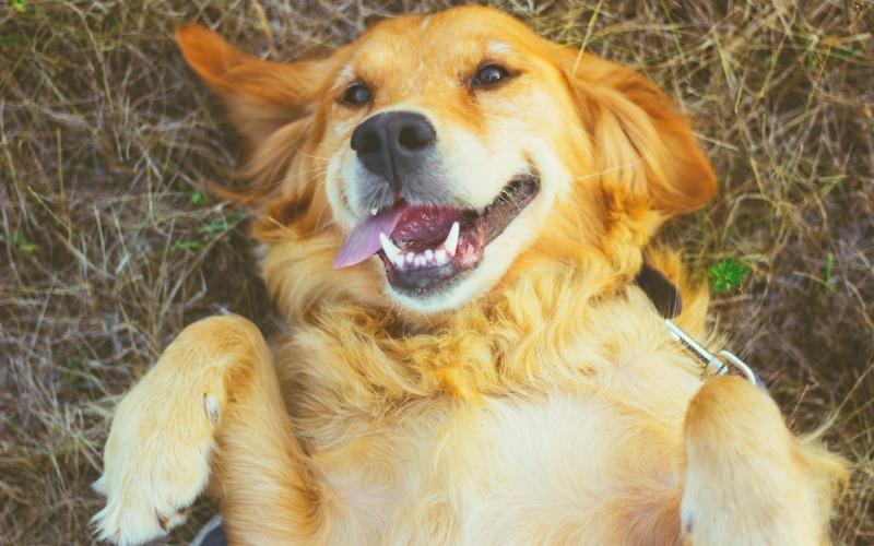 golden retriever calm dog breed