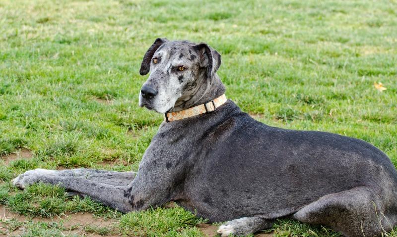 calm dog breeds great dane