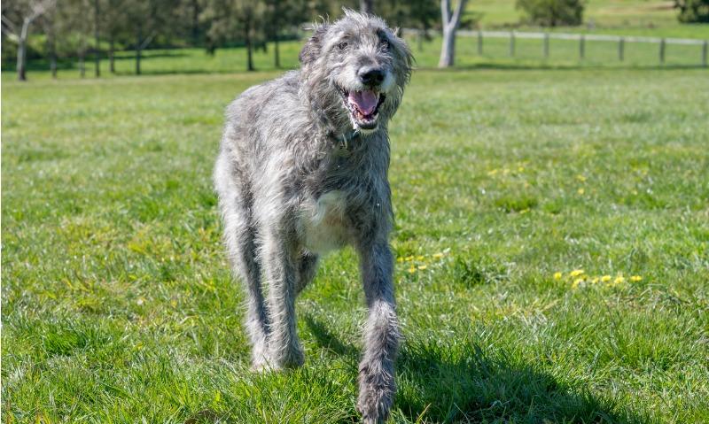 calming dog breeds irish wolfhound