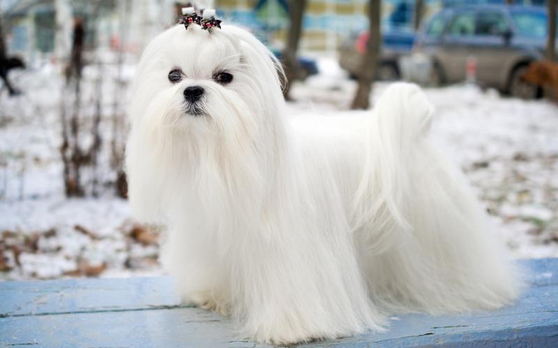 calm dog breeds maltese