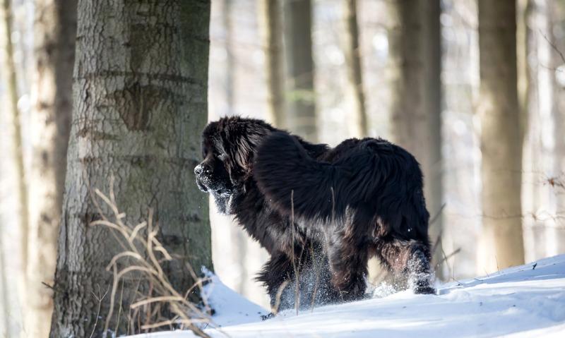 calming dog breeds newfoundland