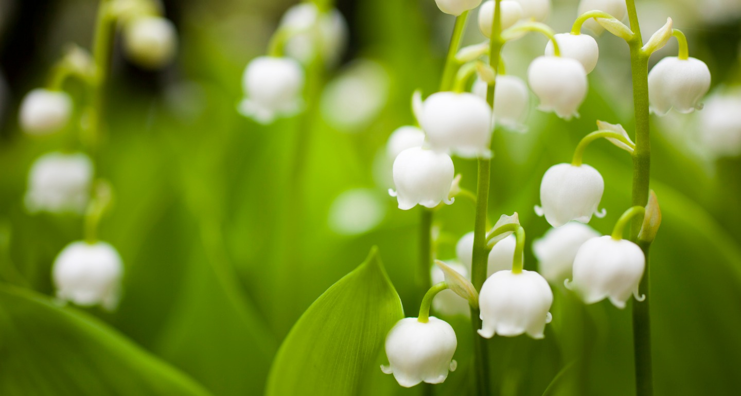 lily of the valley toxic plant for dogs