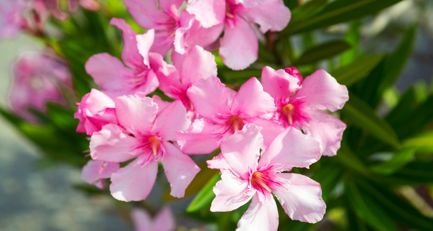 oleander toxic plant for dogs