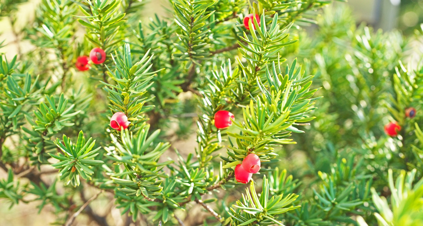japanese yew toxic for dogs