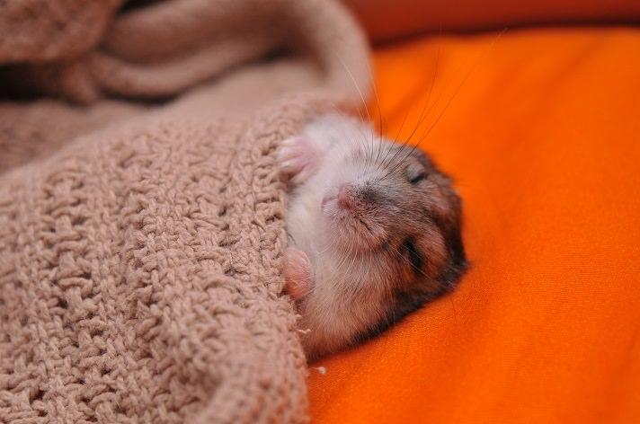 uykucu hamster