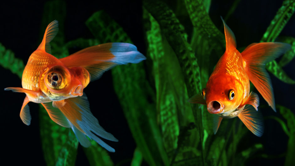 How to Prevent and Treat Popeye in Betta Fish: 10 Steps |Fish With Popeye