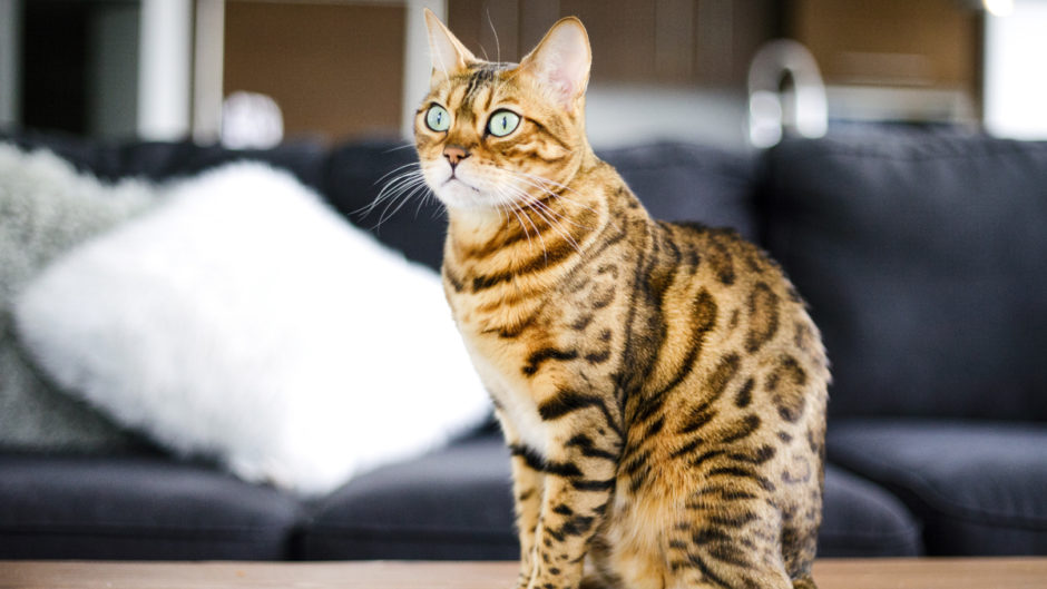 Discover Our Breeder Bengal Cat cats Cats Bengal t