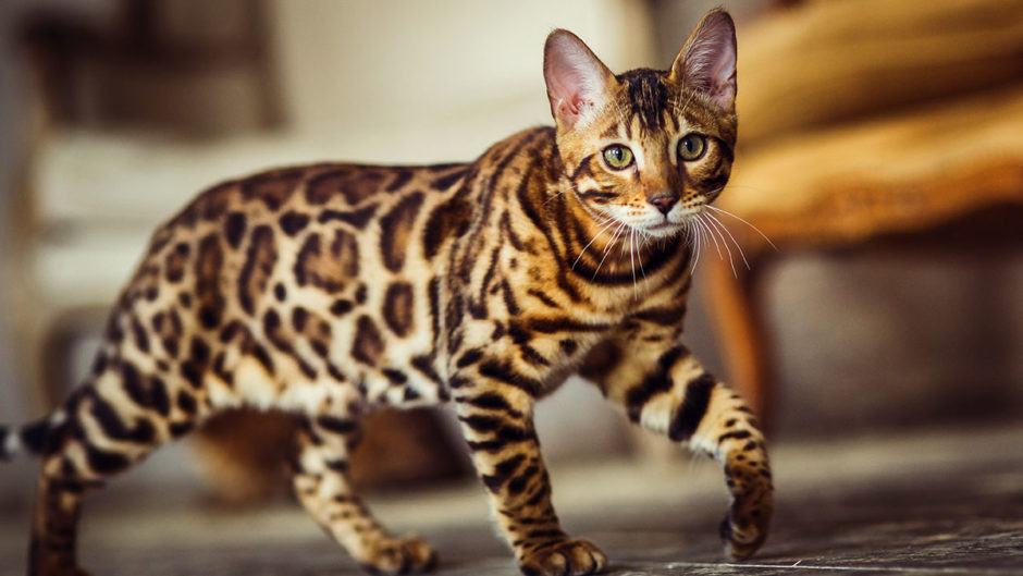 6 Spotted Cat Breeds