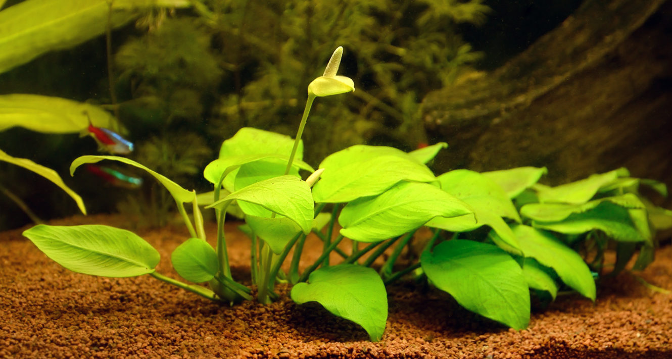 Blooming anubias plant in the aquarium
