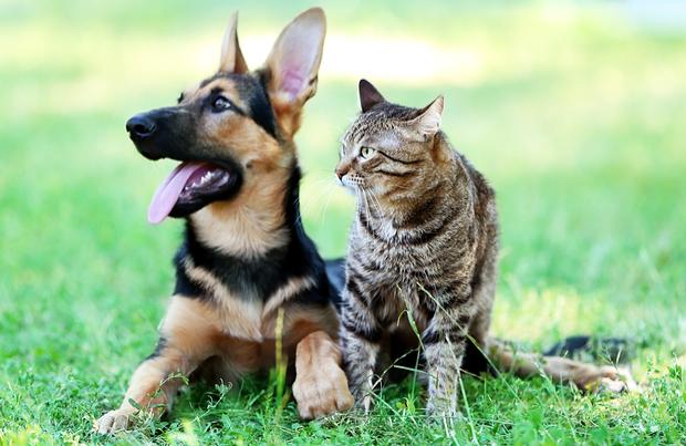 10 Most Dog-Like Cat Breeds