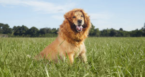 animal inspired dog costumes lion mane