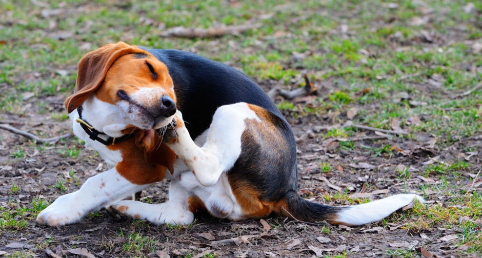 Dog Allergies: Causes, Symptoms and Treatment