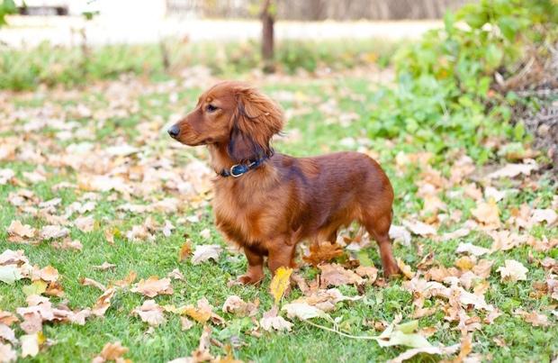 6 Short Legged Dog Breeds