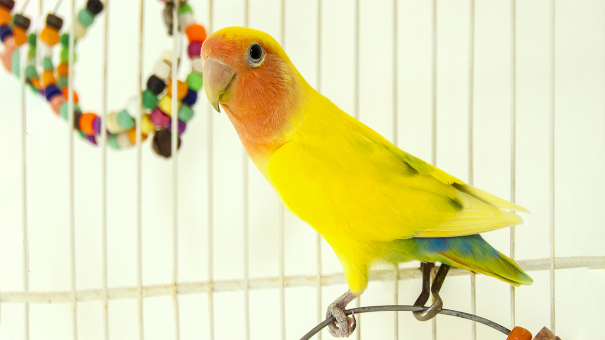 Hear Which Toys Are Best For Lovebirds