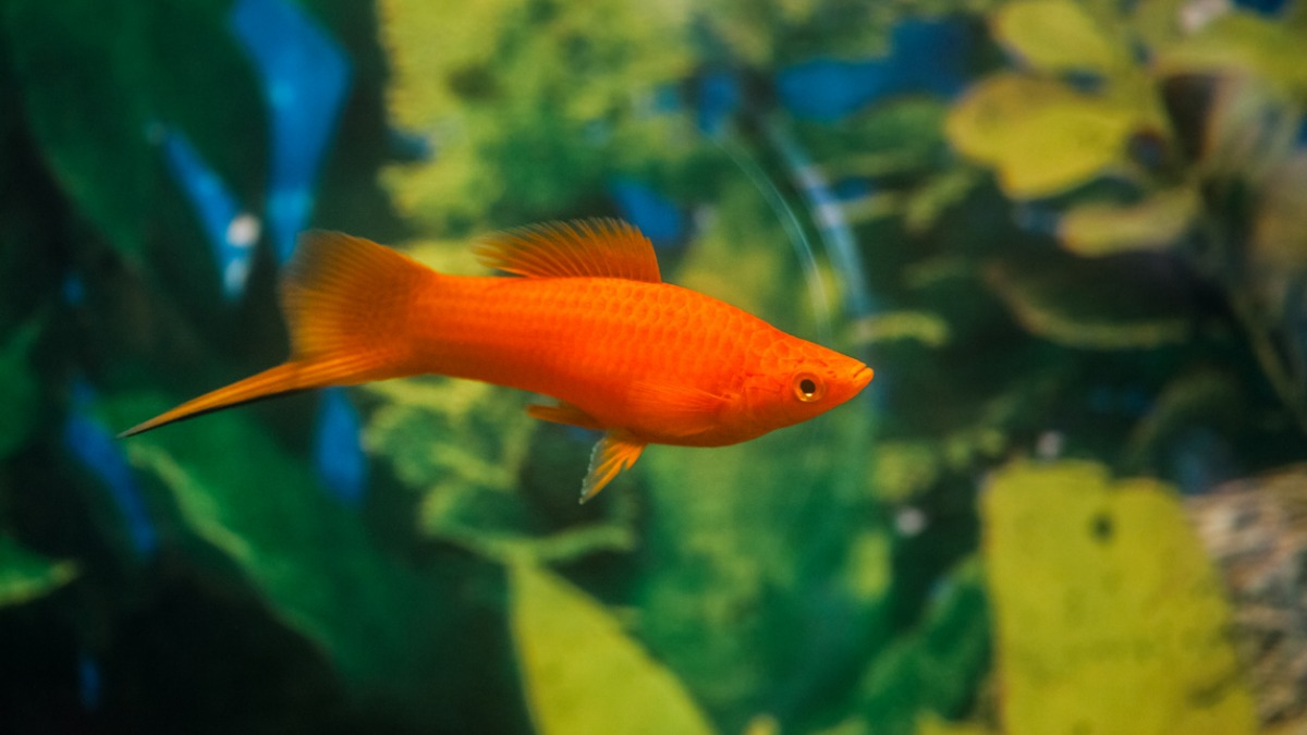 Demystifying The Varying Degrees Of Swordtails And Platies