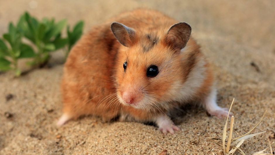 Will Pet Hamsters Released Into The Wild Survive?