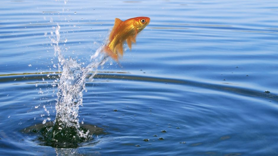 https://s3.amazonaws.com/petcentral.com/wp-content/uploads/2019/10/29142218/goldfish-jumping-picture-id92234795-940x529.jpg