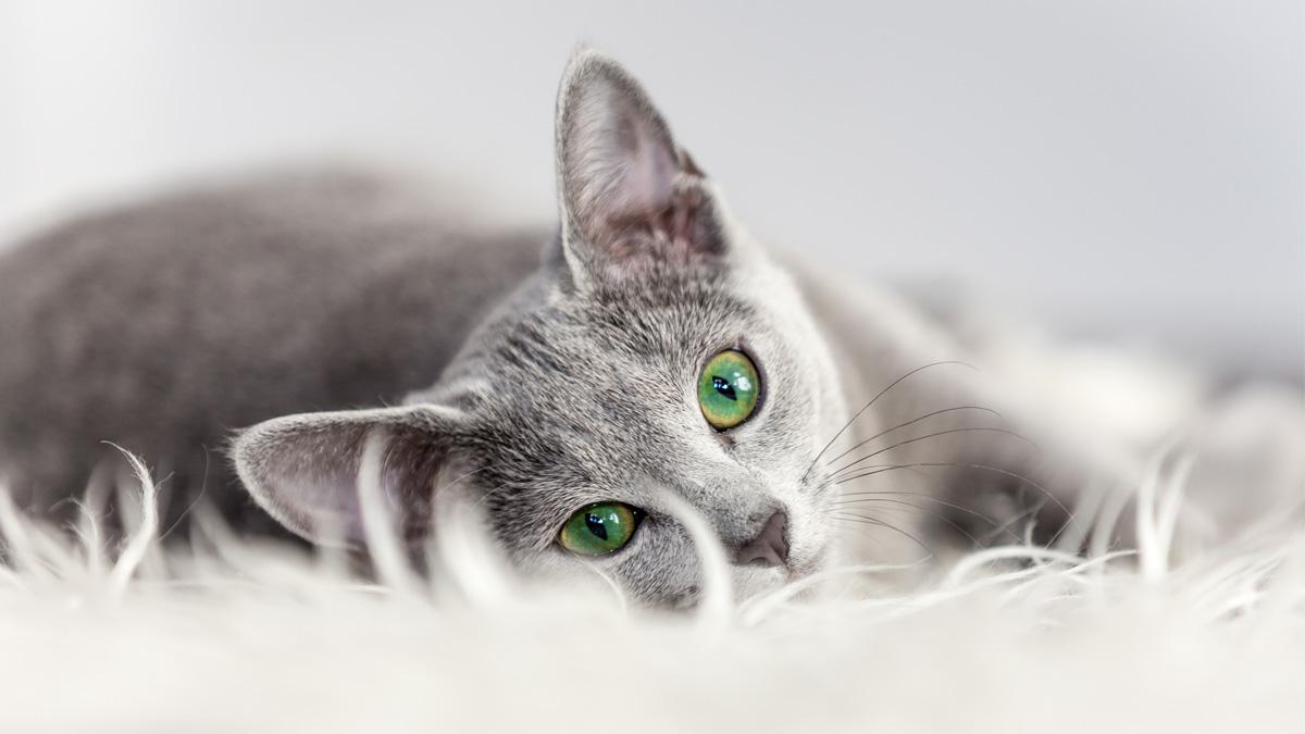 7 Grey Cat Breeds