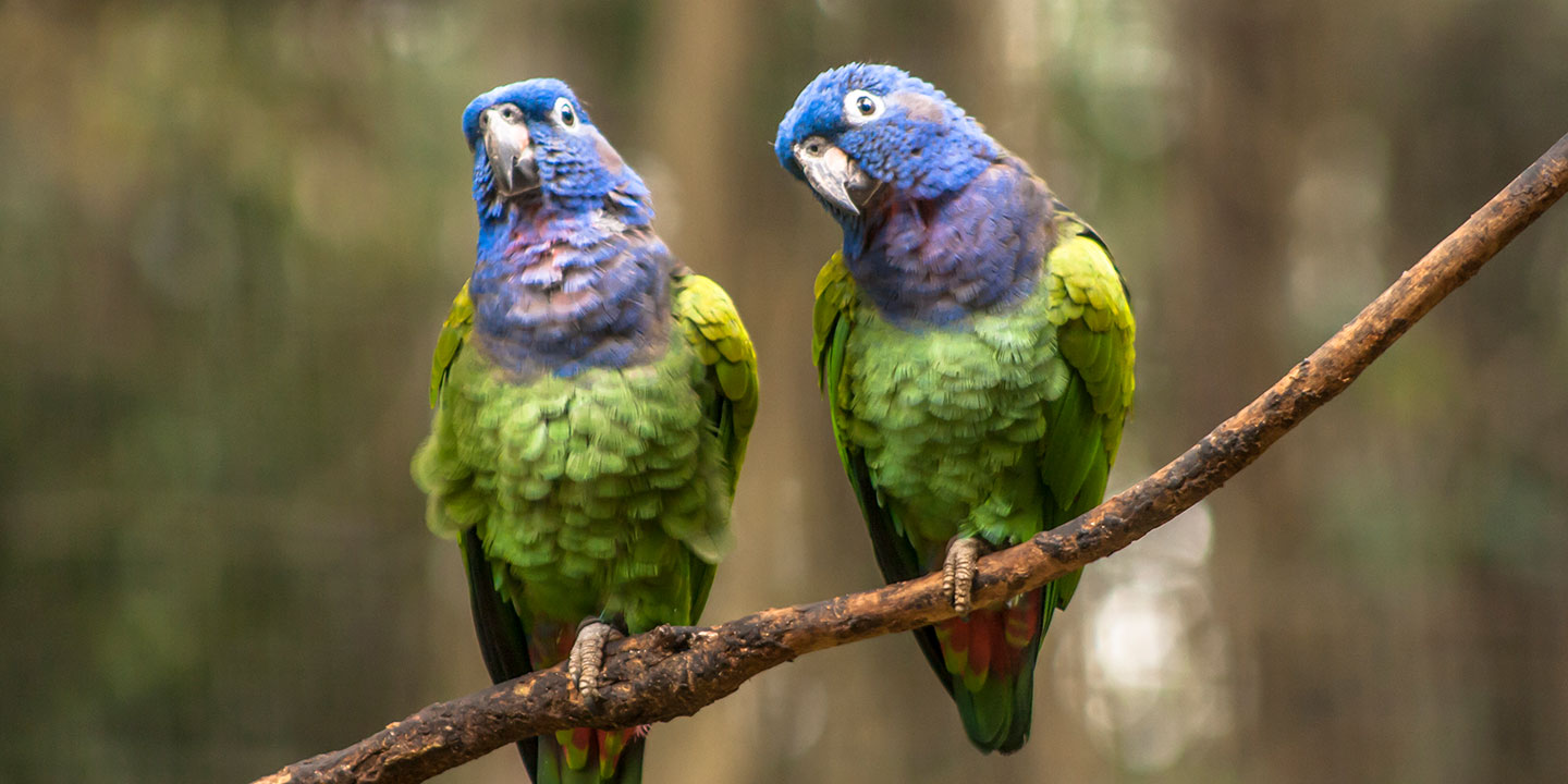 Best pet birds: blue-headed pionus