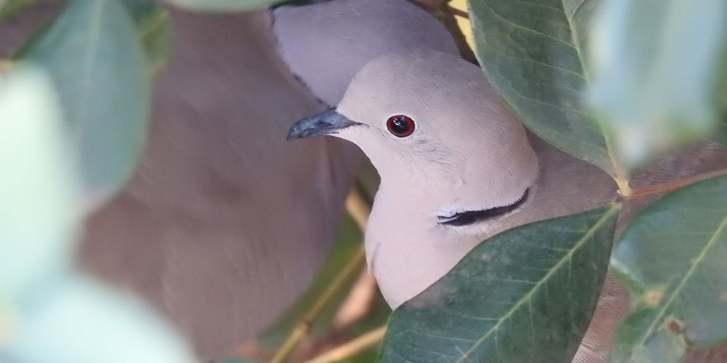 Best pet birds: ring-necked doves