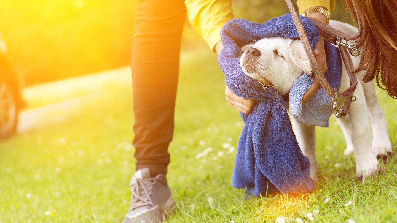 coronavirus and pets - wiping off pets