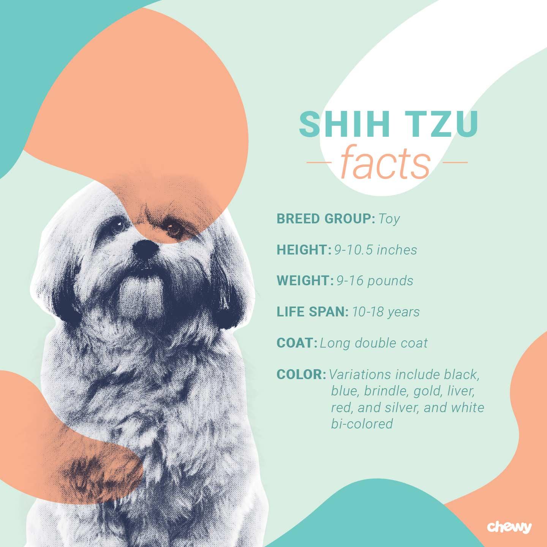 Shih Tzu Dog Breed Facts Temperament And Care Info