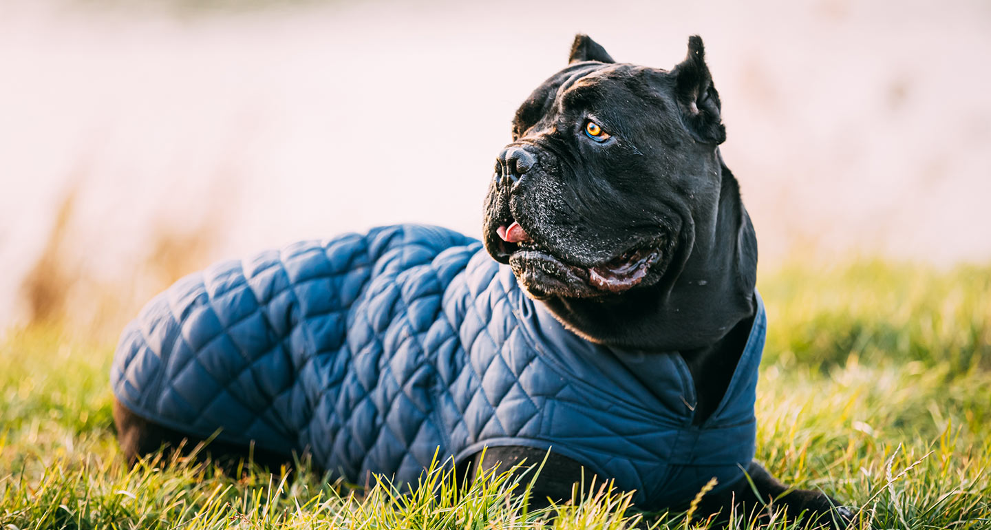 Cane Corso Dog Breed Facts Temperament And Care Info