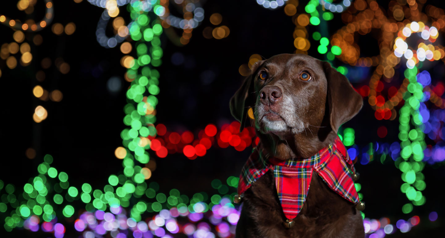 christmas for pets - lights