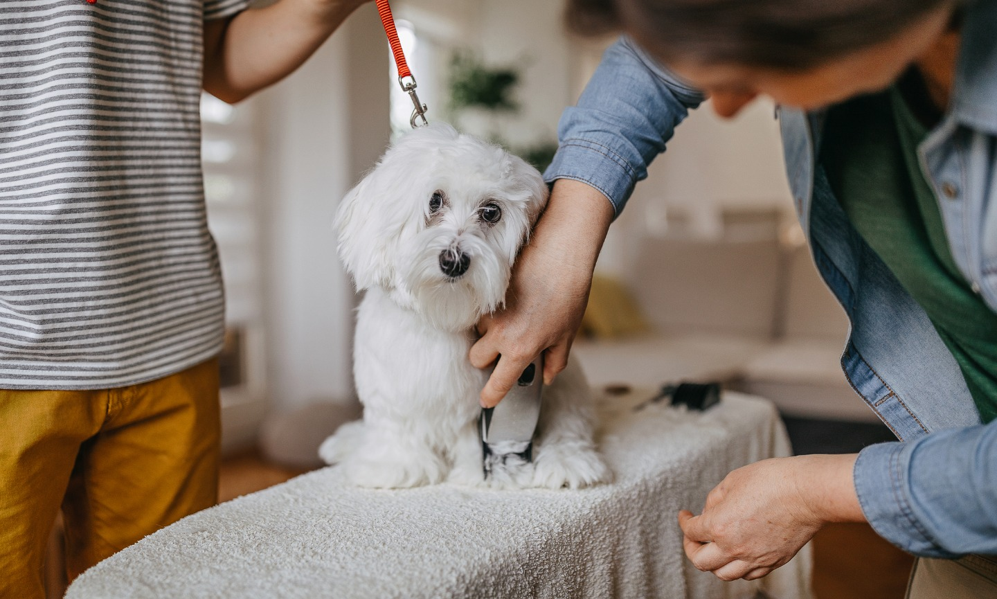 grooming a dog with clippers