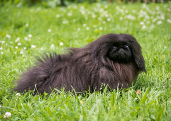 Pekingese Breed Facts and Information | PetCoach