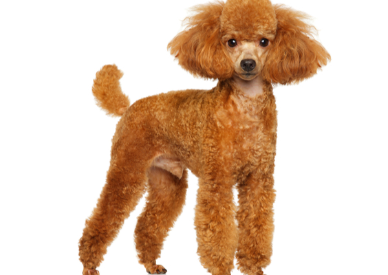 Miniature Poodle Breed Facts And Information Petcoach
