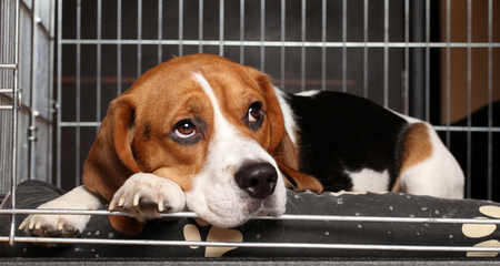 beagle resting quietly in crate