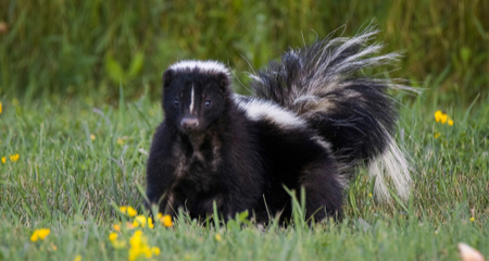 How to Get Rid of Skunk Smell on Your Cat or Dog   PetCoach