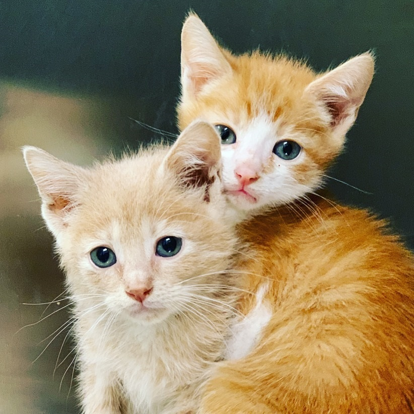 A pair of ginger kittens!