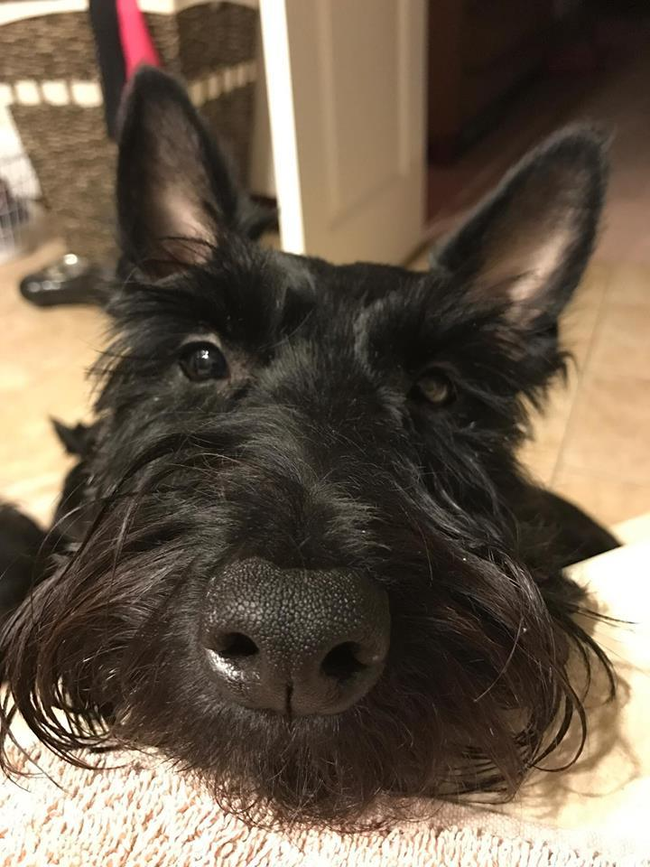 Pets For Adoption At Aberdeen Scottish Terrier Rescue In