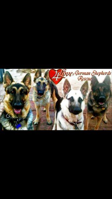 4 The Love of German Shepherds Rescue