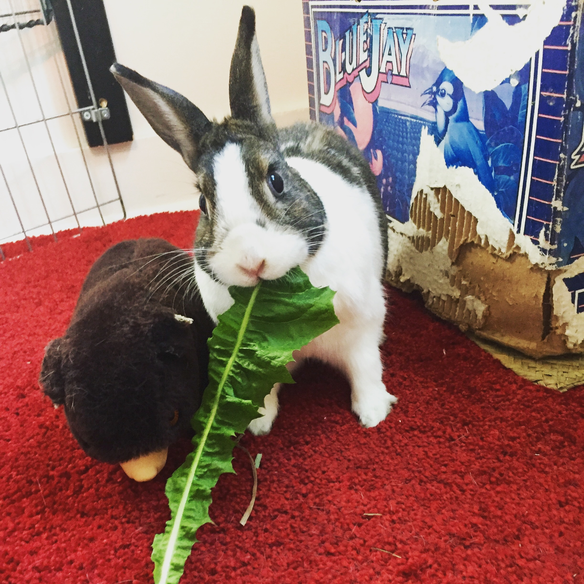 Vancouver Rabbit Rescue and Advocacy