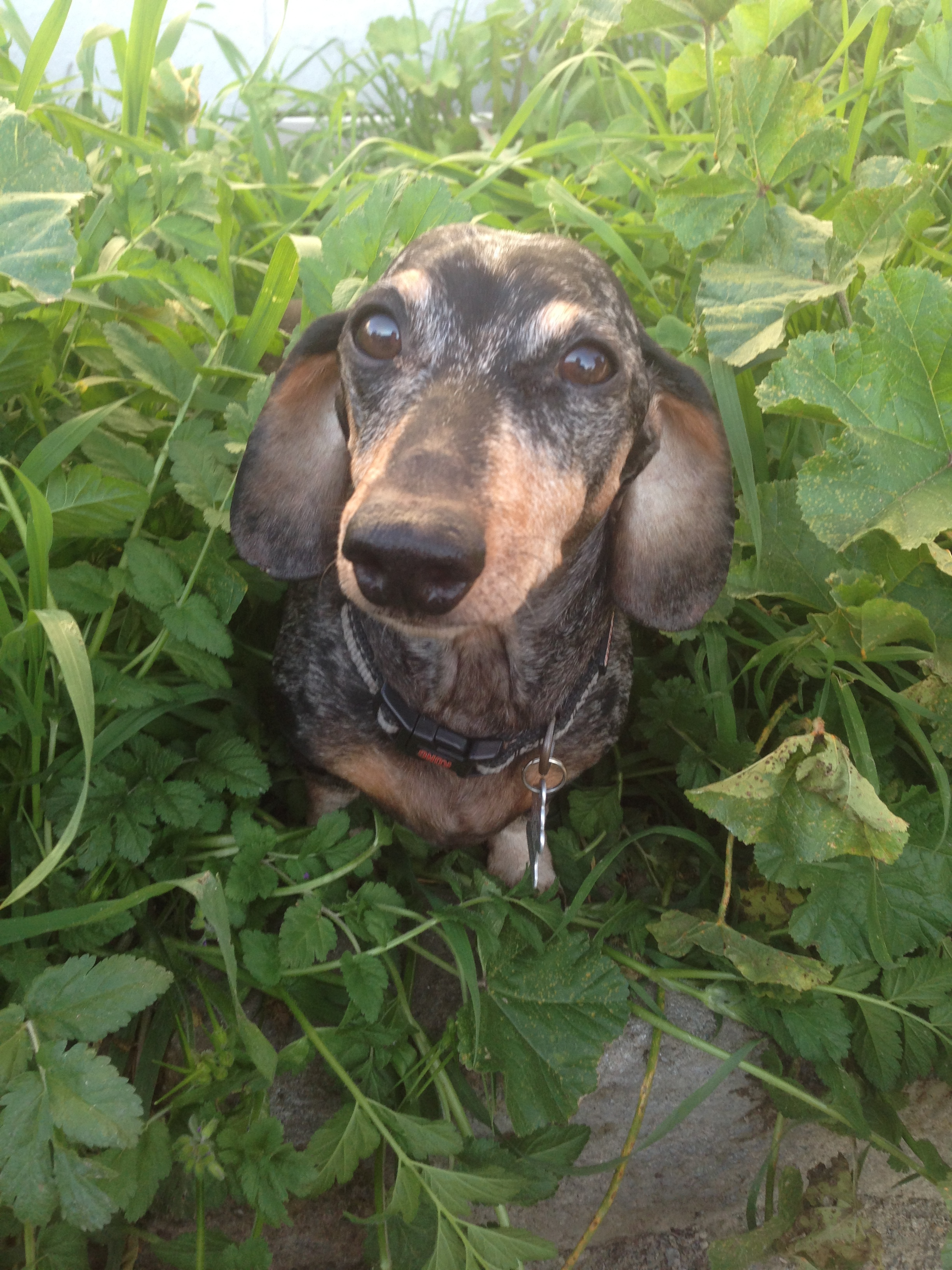 Pets for Adoption at Foxy Doxy Dachshund Rescue, in Atascadero, CA ...